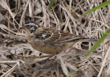 Smith's Longspur; transitional male