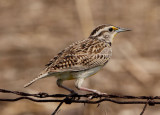 Western Meadowlark; breeding
