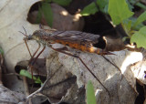 Tipula dorsimacula; Crane Fly species; female