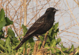 Red-winged Blackbird; first summer male