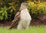 Cooper's Hawk; immature