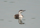 Red-throated Loon; basic
