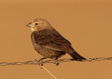 Brown Cowbird; female