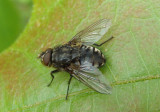 Pollenia Cluster Fly species; male