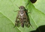 Rhagio mystaceus; Common Snipe Fly; male