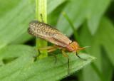 Limnia Marsh Fly species