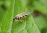 Platypalpus Hybotid Dance Fly species