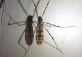 Tipula Crane Fly species