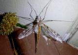 Tipula longiventris; Crane Fly species; female