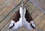 8322-8769 - Noctuidae; Pre-Catocala
