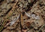 Pterelachisus Large Crane Fly species
