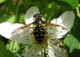 Sericomyia chrysotoxoides; Syrphid Fly species