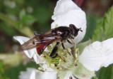 Chalcosyrphus libo; Syrphid Fly species