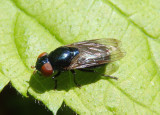 Chrysogaster Syrphid Fly species; female