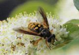 Somula decora; Syrphid Fly species