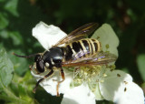 Temnostoma excentrica; Syrphid Fly species