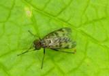 Rhagio punctipennis; Lesser Variegated Snipe Fly