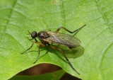 Rhamphomyia Dance Fly species