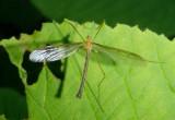 Tricyphona Pediciid Crane Fly species; male
