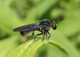 Cerotainia Robber Fly species