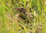 Eastern Meadowlark; fledgling
