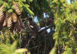 Merlins; fledglings