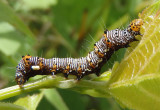 9314 - Alypia octomaculata; Eight-spotted Forester caterpillar