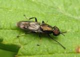 Myxosargus Soldier Fly species