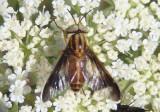 Chrysops Deer Fly species; male