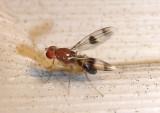 Chymomyza amoena; Vinegar Fly species
