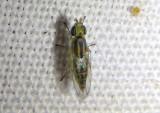 Meromyza Frit Fly species