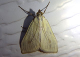 4986.1 - Sitochroa palealis; Crambid Snout Moth species; exotic