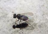 Medetera Long-legged Fly species