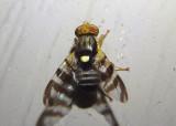 Rhagoletis cingulata; Eastern Cherry Fruit Fly