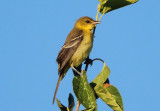 Orchard Oriole; female