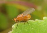 Camptoprosopella Lauxiniid Fly species