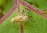Euaresta aequalis; Fruit Fly species; female