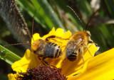 Melissodes agilistrinodis complex; Long-horned Bee species