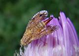 Paracantha culta; Fruit Fly species; female