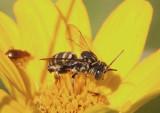 Triepeolus Cuckoo Bee species; male