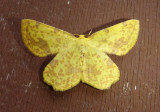 6256-6762 - Geometridae; Macaria through Phigalia