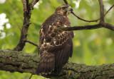 Broad-winged Hawk; juvenile