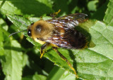 Bombus griseocollis; Brown-belted Bumble Bee; male
