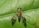 Condylostylus Long-legged Fly species