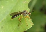 Taracticus octopunctatus; Robber Fly species