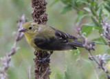 Scarlet Tanager; basic male
