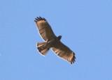 Red-shouldered Hawk; immature