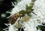 Agapostemon splendens; Metallic Green Bee species