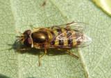 Eupeodes americanus/pomus complex; Syrphid Fly species; female