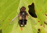 Villa hypomelas; Bee Fly species